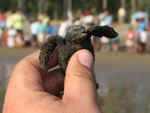 Click here to visit the Travelers411 Directory for Platanitos Turtle Camp