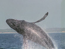Riviera Nayarit Whale Watching
