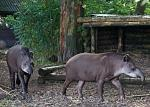 Brazillian Tapirs at Fota Wildlife Park