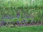 fence willow