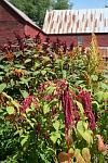 Cut flowers of various amaranthus varieties.