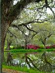 When the azaleas are in bloom they accent the live oak trees at Brookgreen Gardens.