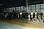 Dairy cows at Miner Institute.