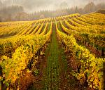 Fall vineyard in Oregon, Carolyn Wells Kramer, CWK Photography