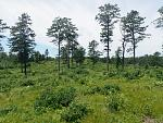 Albany Pine Bush pine barrens