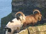 Wild goats on the cliff edge
