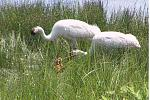 Whooping cranes with chicks at Necedah National Wildlife Refuge, WI.  Credit:  Richard Urbanek / USFWS