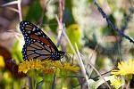 Monarch butterfly at Bon Secour National Wildlife Refuge, LA.  Credit: Keenan Adams / USFWS.