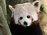 Bonnie the female red panda at Fota Wildlife Park