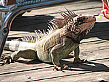 Domesticated Iguana in St. Thonmas