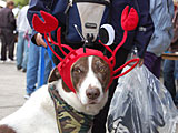 Dog in a crab hat at the Dungeness Crab Festival in Port Angeles Washington.