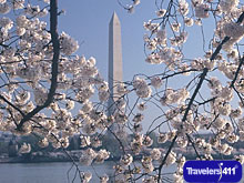 Cherry Blossoms in Washington D.C.